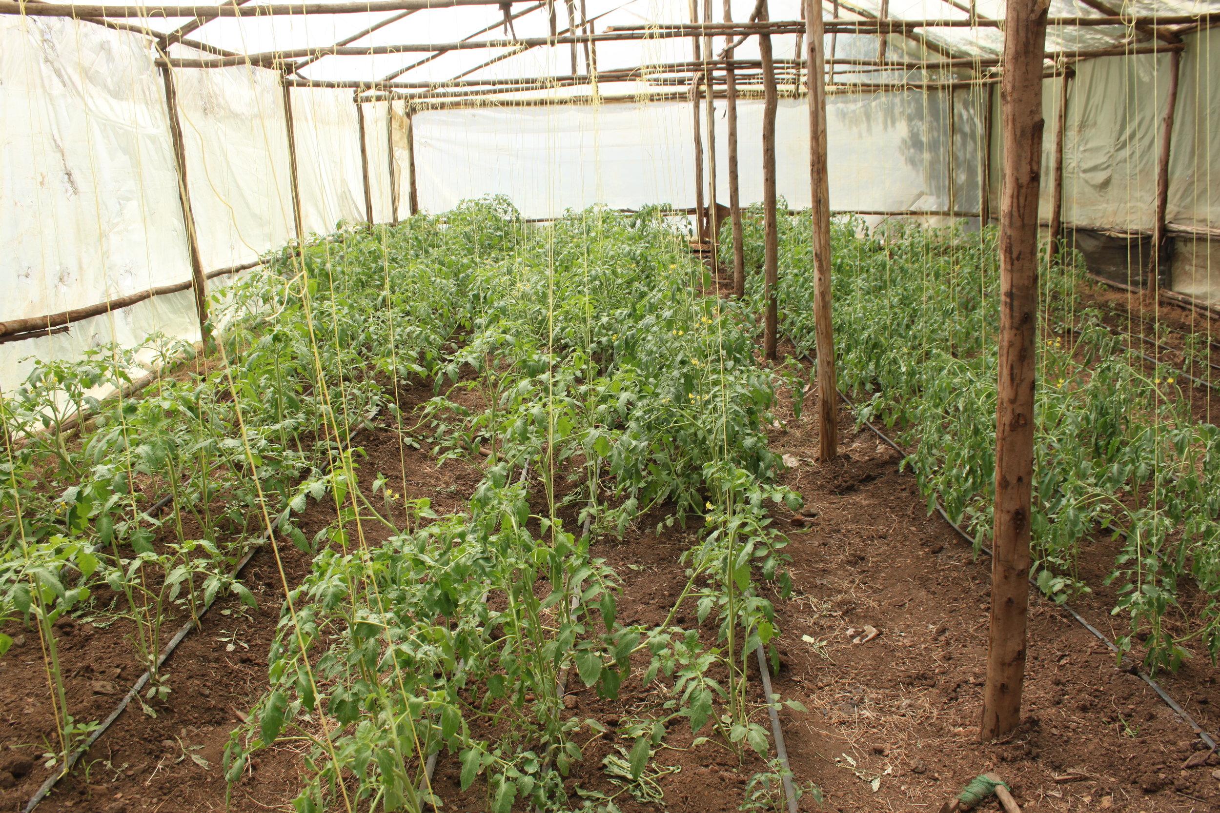 Tomato plants in the greenhouse at Kinda Biye