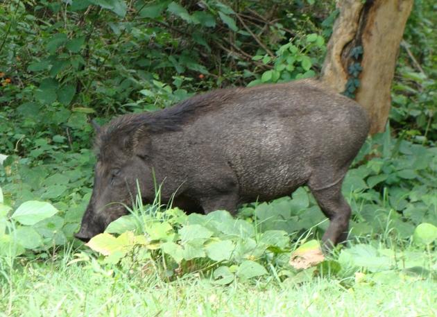 boar.jpg