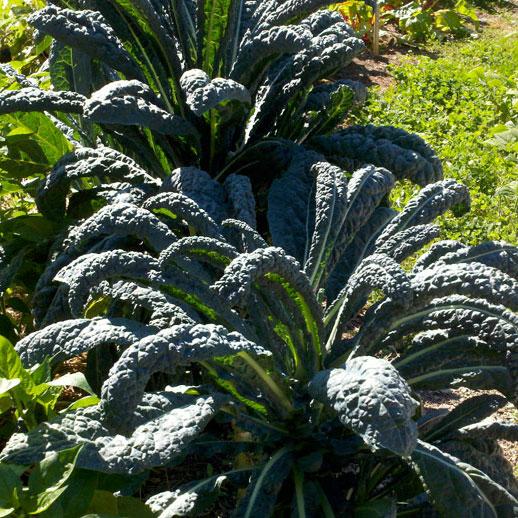 Lacinato Dinasour Kale