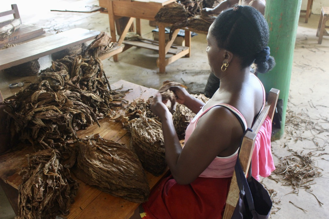 One of the many women sorting through Tobacco leaves at the factory