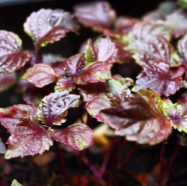 We are growing micro herbs on our terrace 🌱. Not to be underestimated, this beautiful Purple Shiso is more than just a garnish, it has a unique flavour with hints of cinnamon and anise and Japanese chefs have used it in their cooking for centuries.