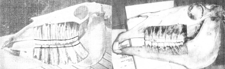 (Gauche) Dent sur le point de percer (sous le rebord gingival) chez un cheval de 5 ans. (Droite) Dent sur le point de percer chez un cheval de 20 ans – quelques minces racines demeurent.