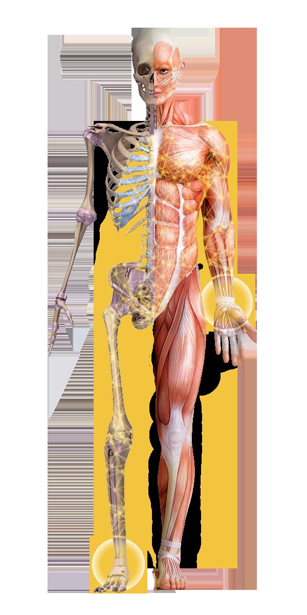 Integrative Anatomy Slide 1.png