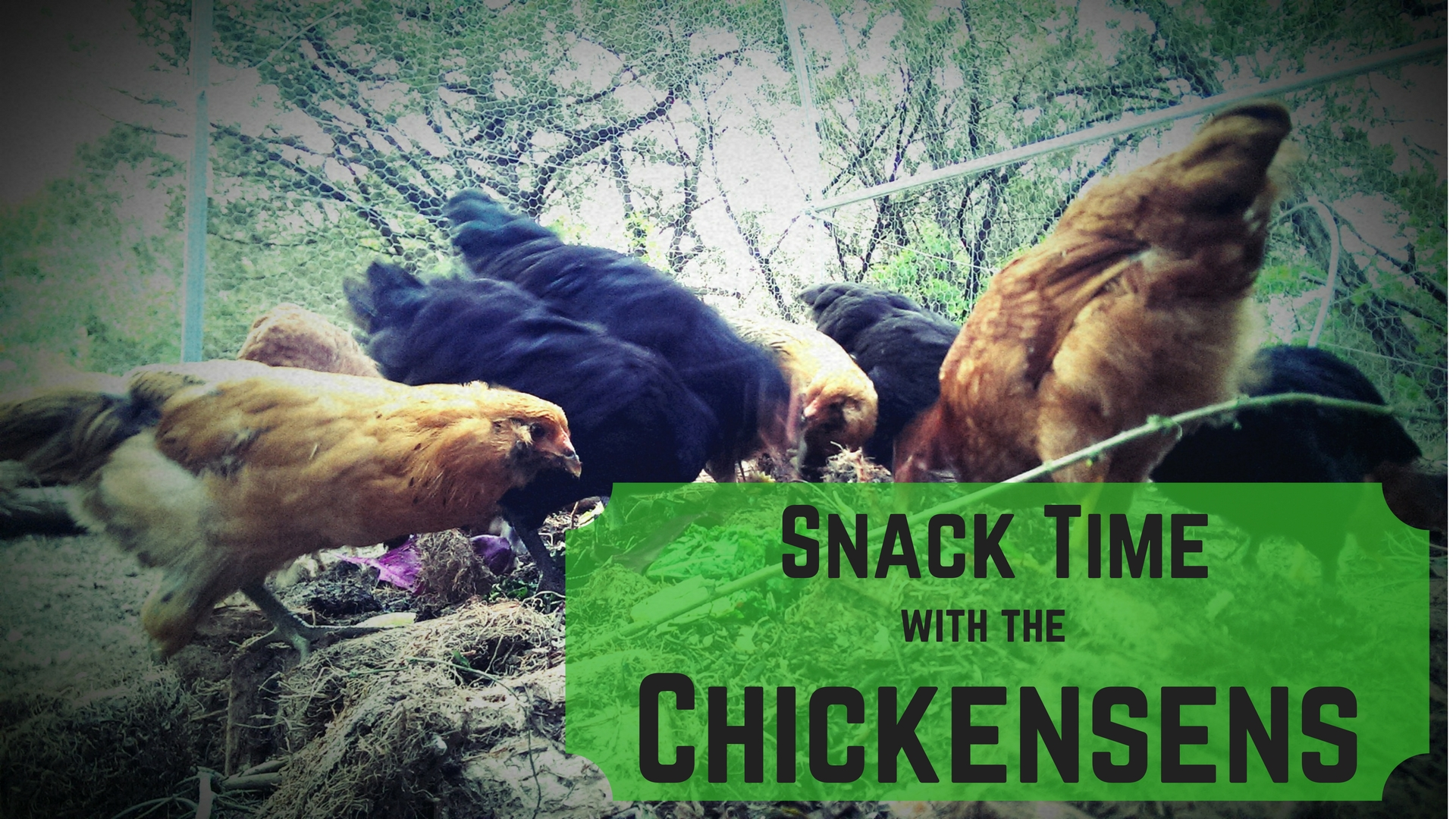 Snack Time with the Chickensens