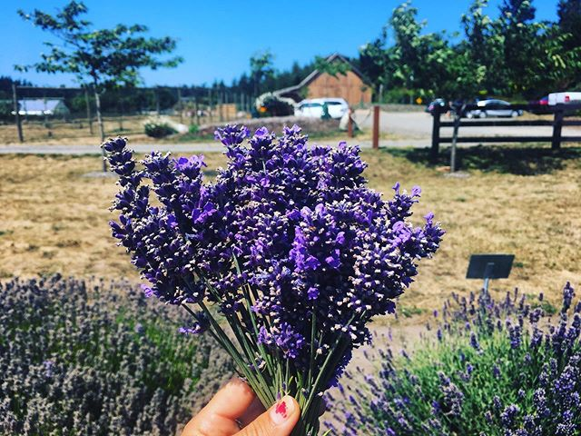 Our new Blueberry Lavender Swirl flavor is made with lavender from @wilderbeefarm and blueberries from @finnriver ! Come taste the flavors of the beautiful Olympic Peninsula!
