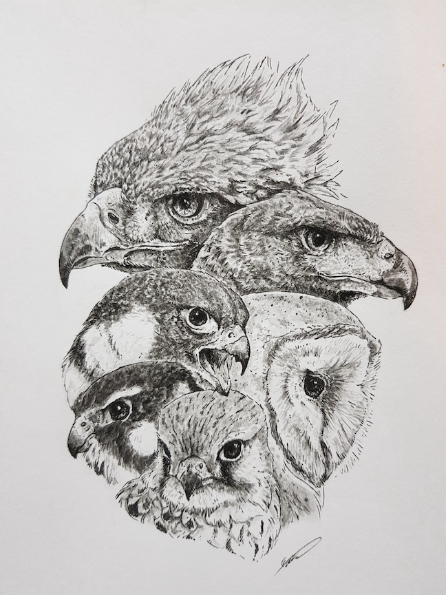 Bird of Prey Drawing Art by Savourychaffinch