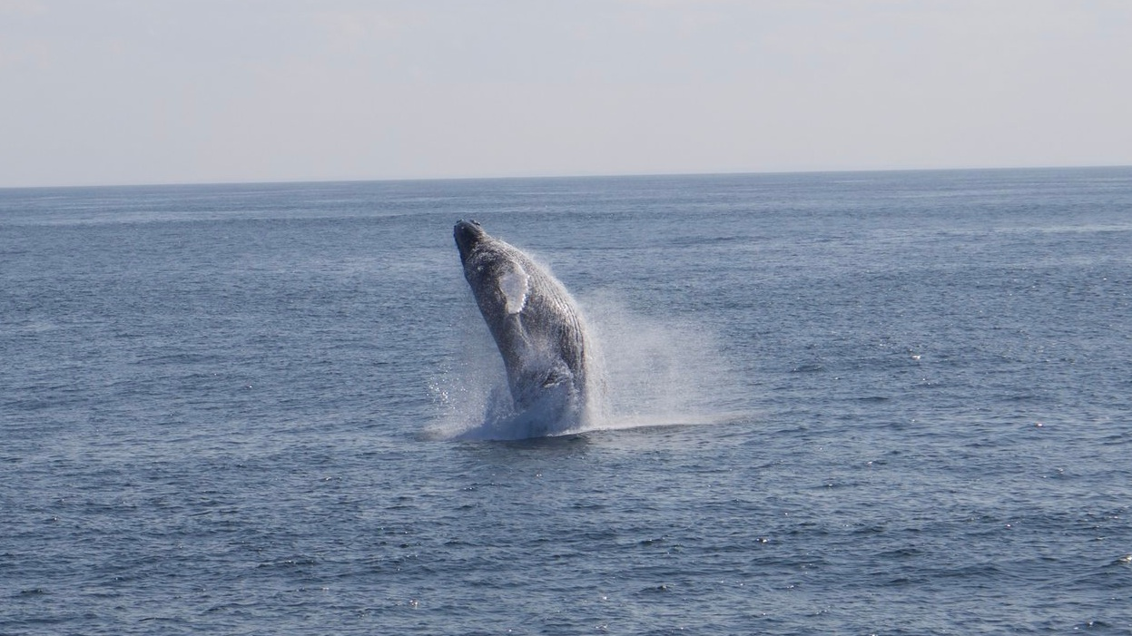 A humpback whale breaching… a rare and beautiful sighting!
