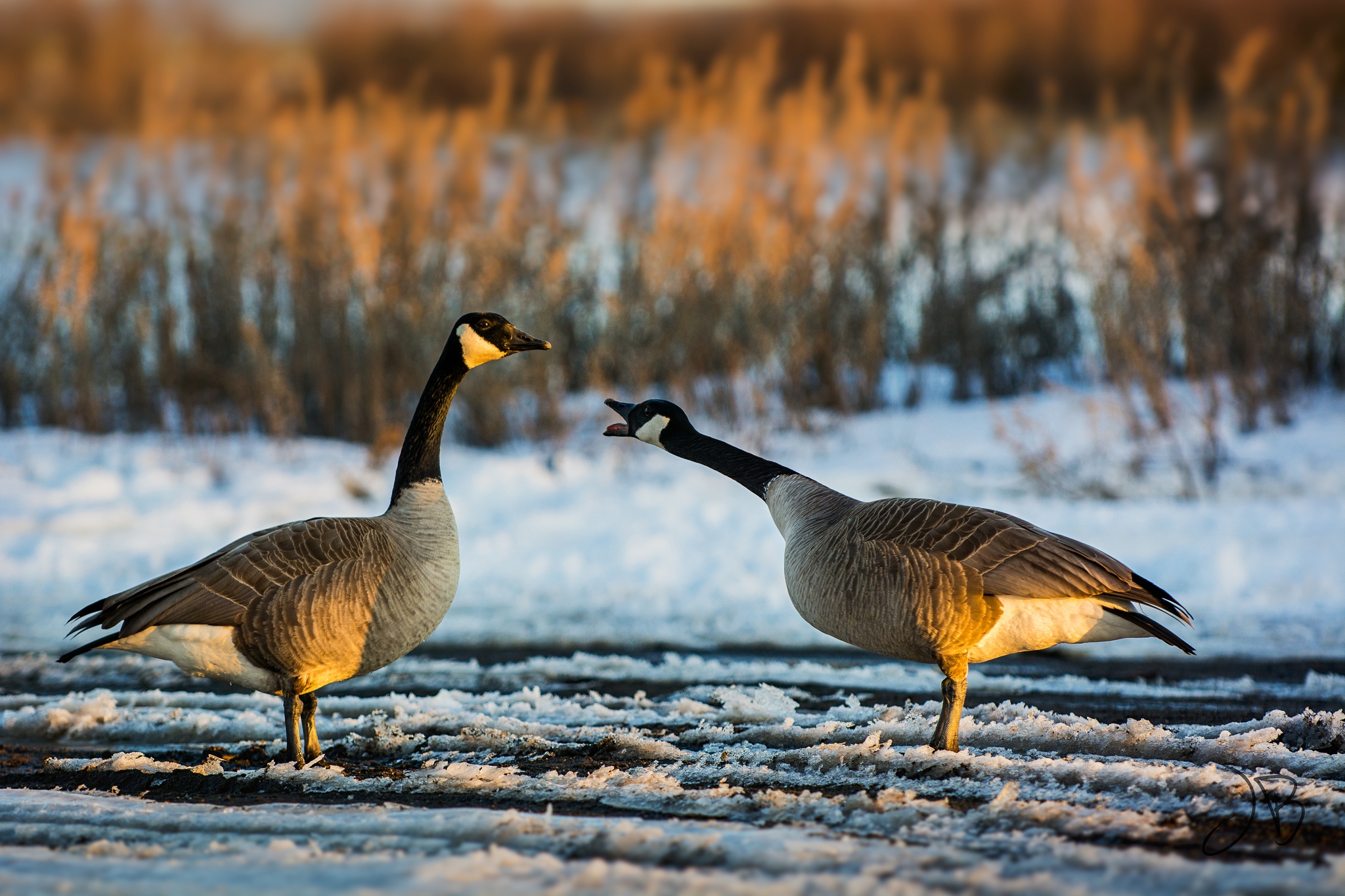 Two geese together