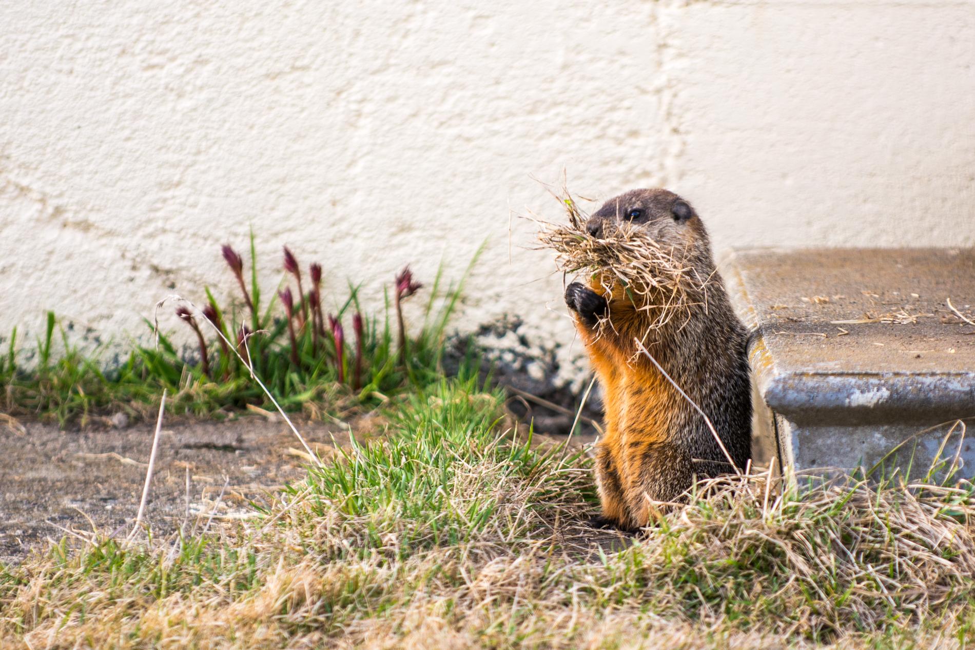 Groundhog nesting