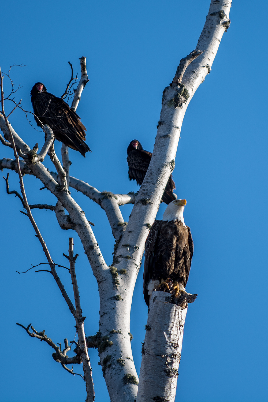 Eagle among Vultures