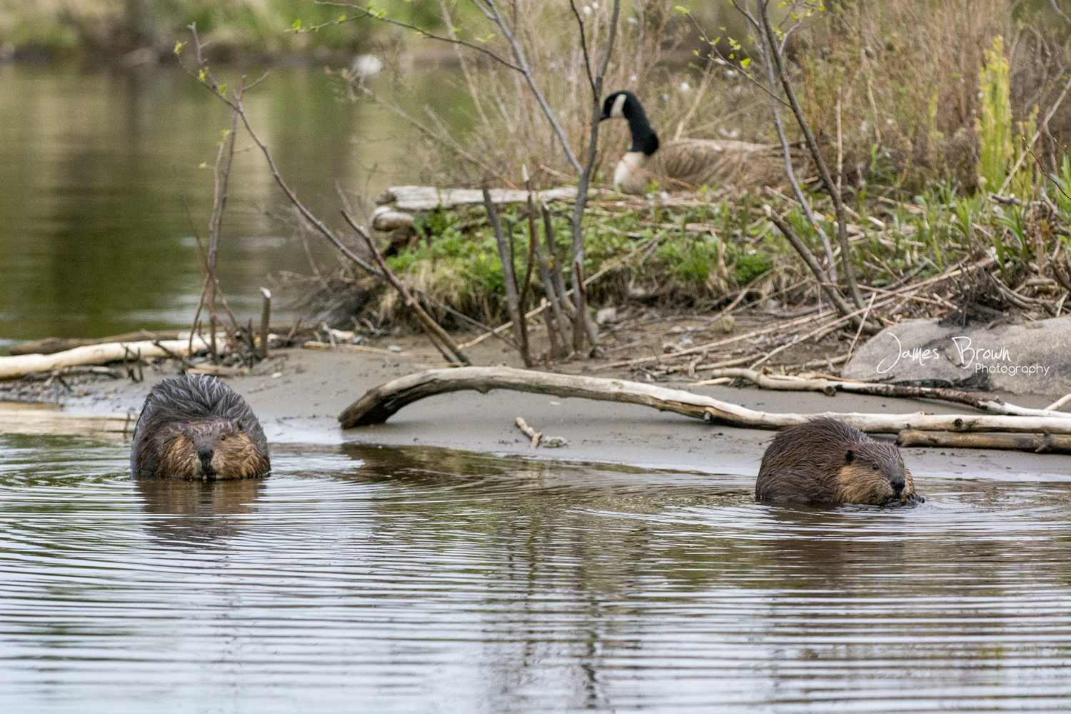 A couple beavers in the water near a goose