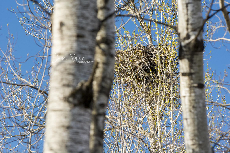 Eagle on a large nest