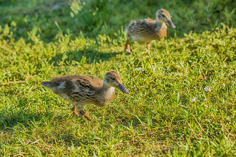 Ducklings at Marina Park