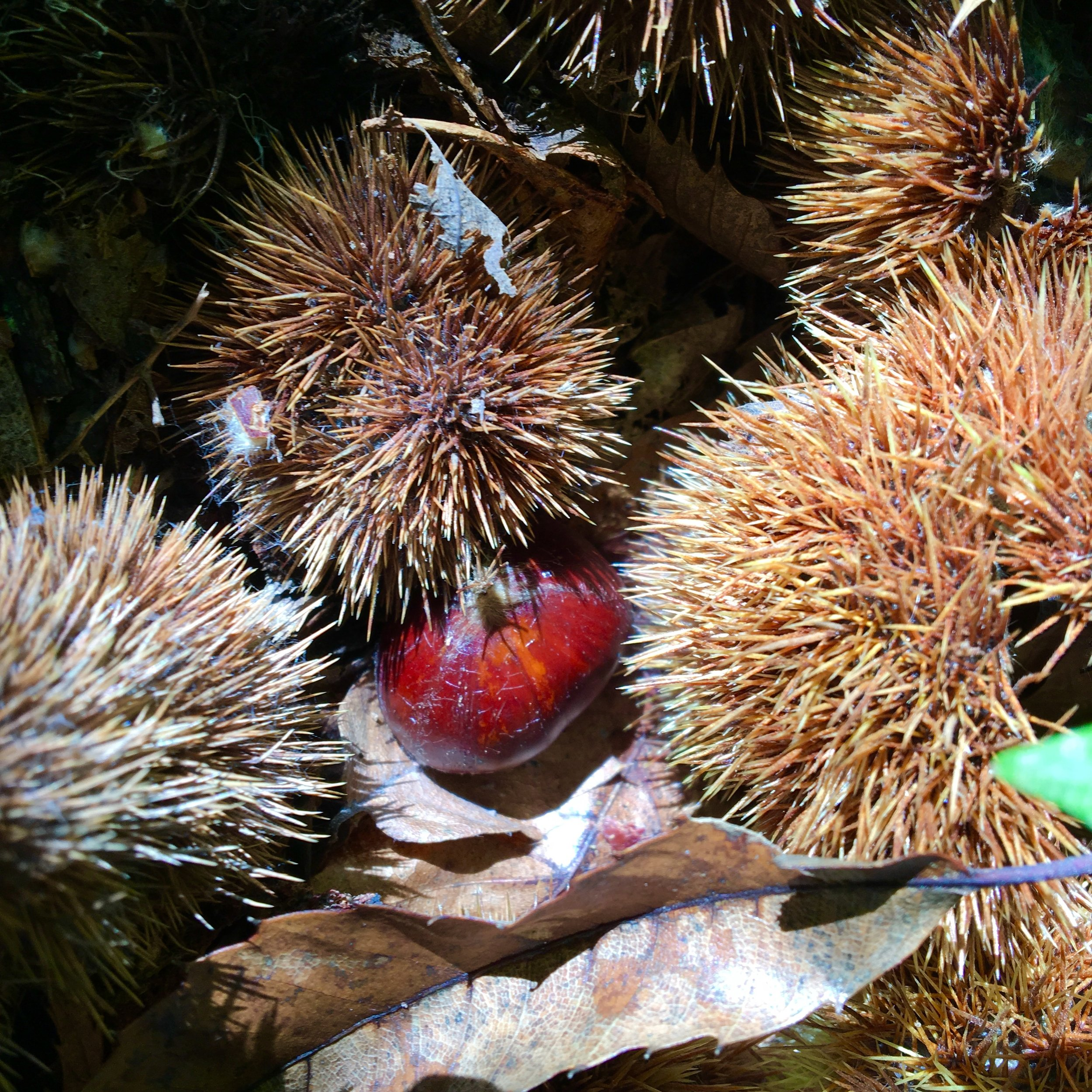 Hunting for chestnuts in Le Taillan-Médoc
