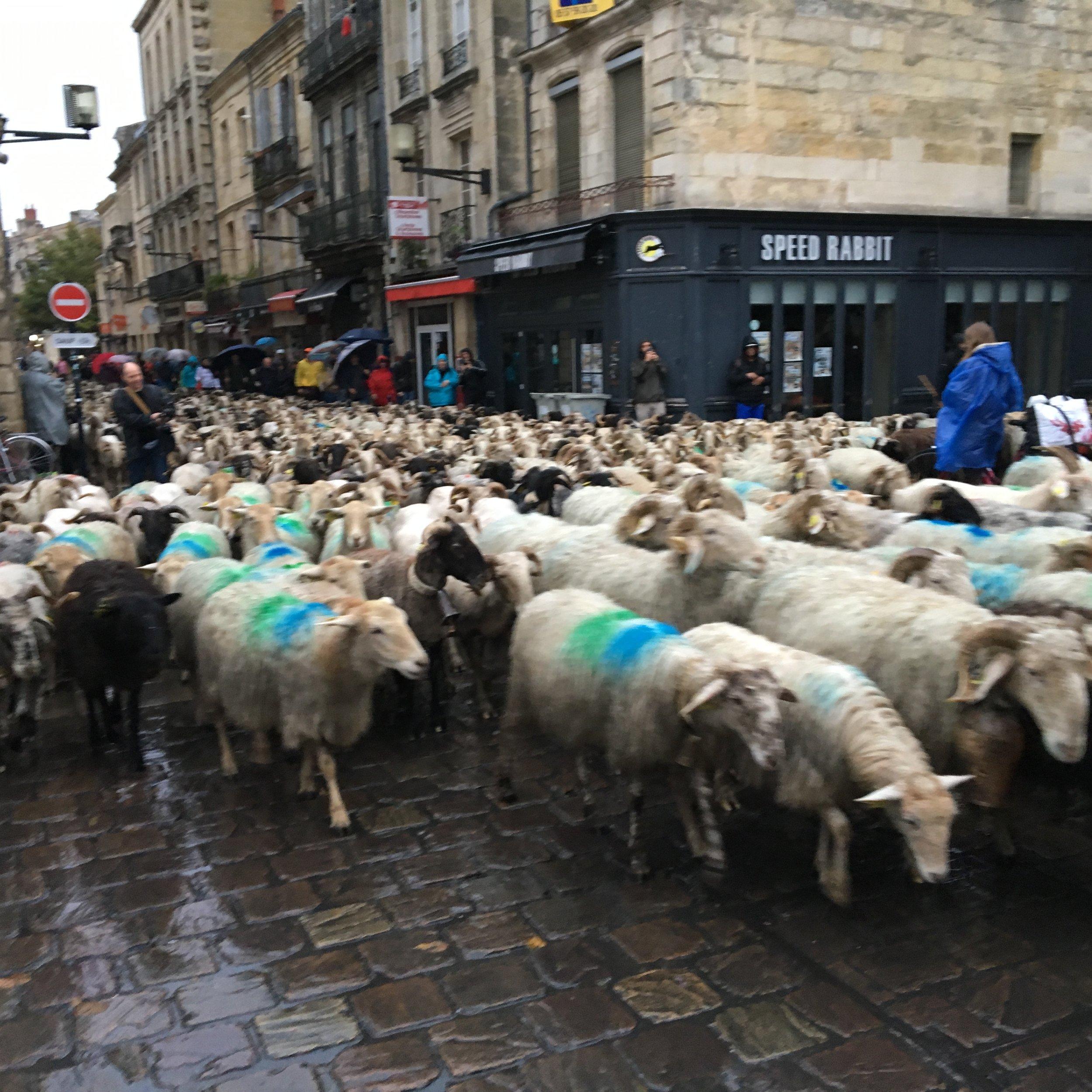 Transhumance, 1000 sheep rambling down my street
