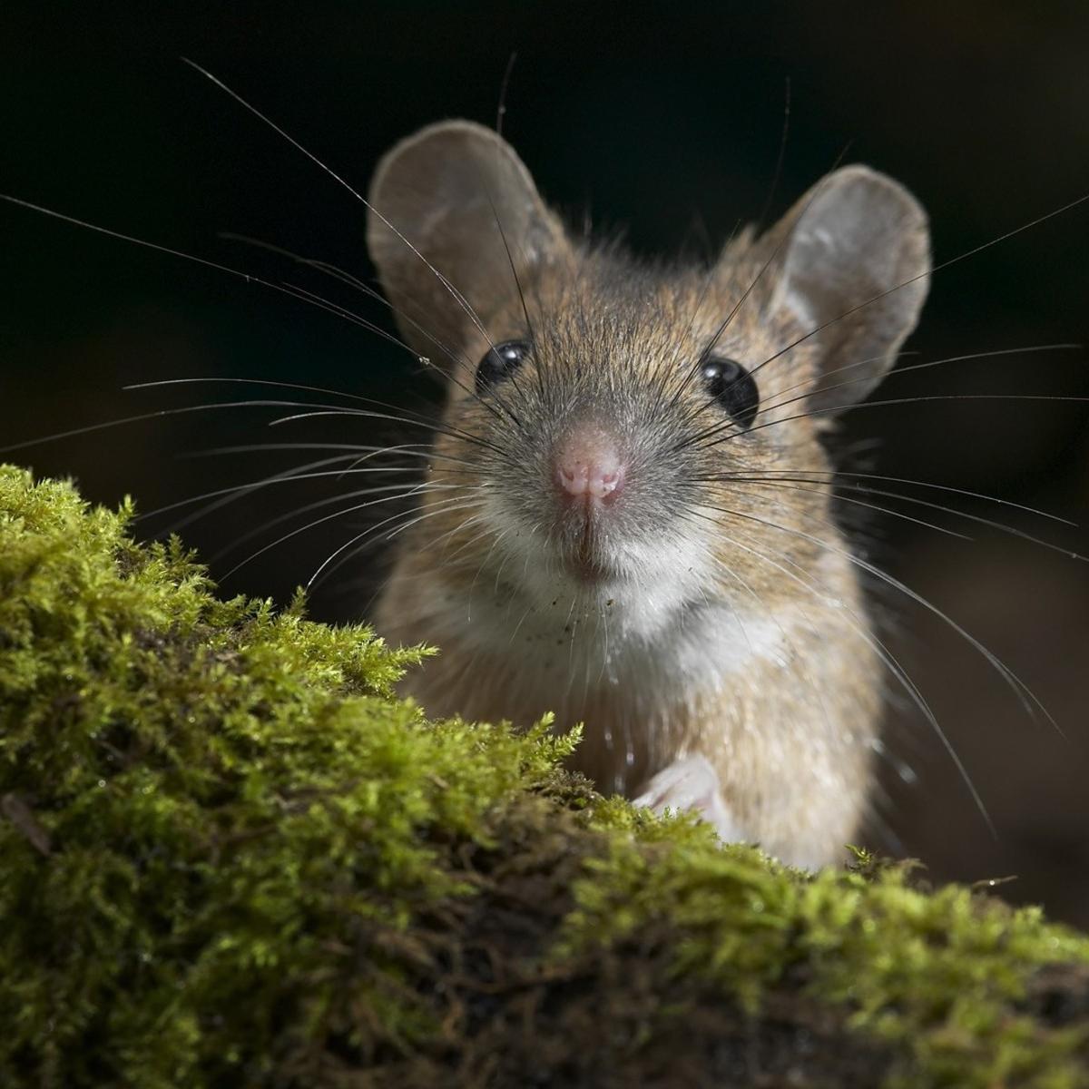 forest-mice-animals-nature-grass-wildlife-109260-wallhere.com (1).jpg