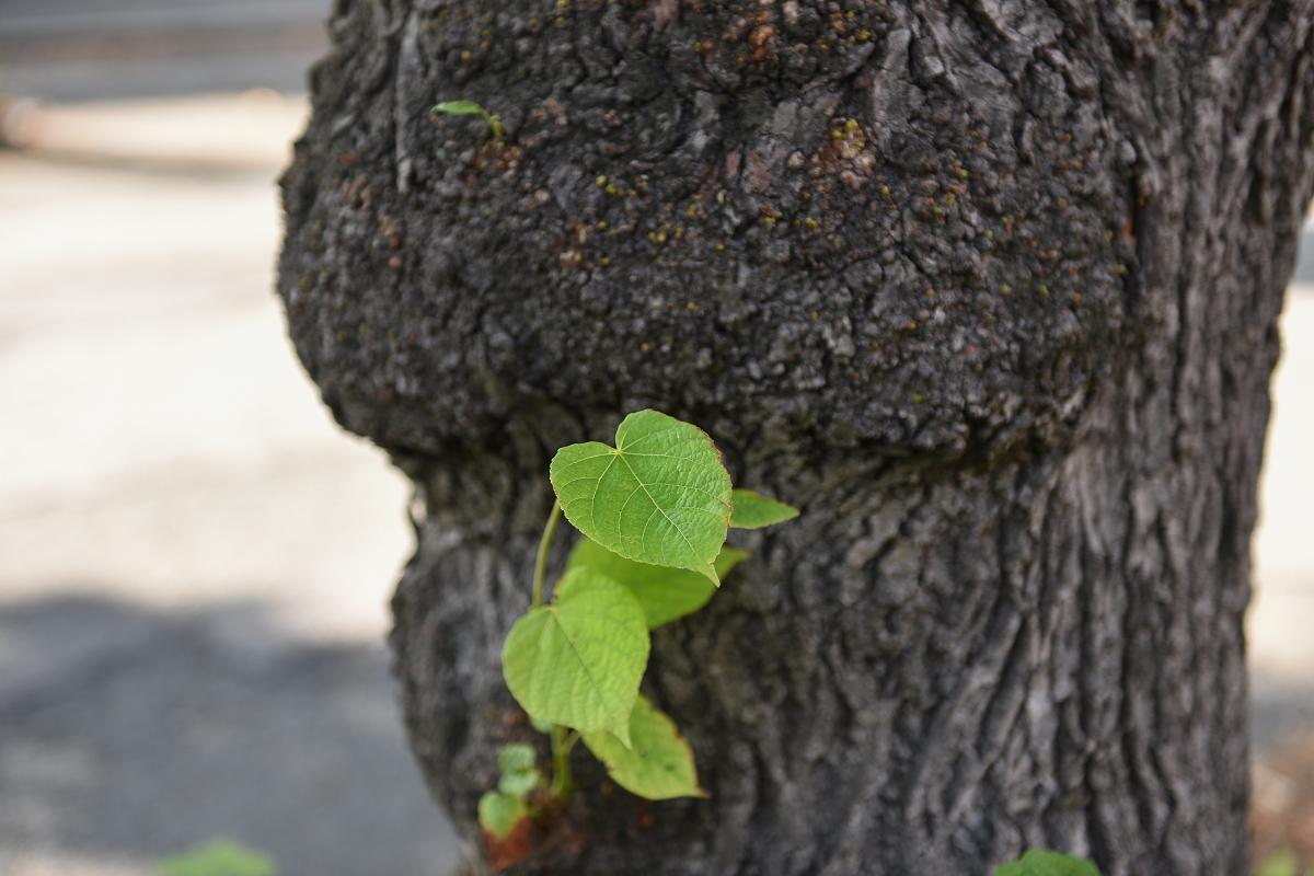 Zgodba posekanih lip na Cesti zmage - In medtem ko prihajajo v medijski prostor članki, kako je mariborska občina uspešno prenovila ulico in posadila drevesa na Cesti zmage, me je zanimalo, kaj se je zgodilo s posekom močnih in zdravih, skoraj sto let starih lip, ki krasile so Vurnikovo kolonijo. 92 prekrasnih dreves je izginilo in kot pravi Slavko Gazvoda, pobudnik gibanja civilne iniciative Drevored Cesta zmage, je ulica izgubila svojo dušo.