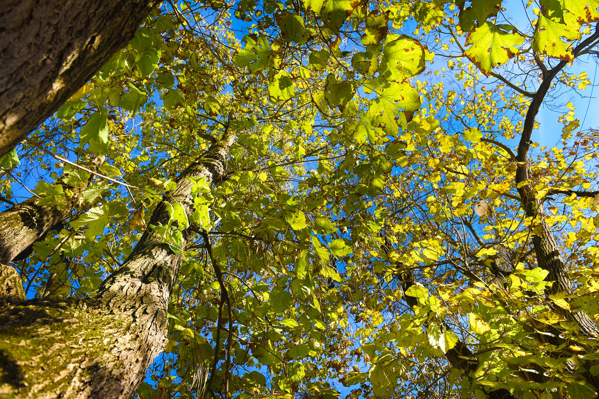 Ko pri 7 drevesih trčita 2 svetova - Zgodbe o brezobzirnem podiranju dreves v mestnih jedrih so se vrstile, kar ena za drugo. Padala so zdrava drevesa z razlogom, da so stara in nevarna ter da bodo zamenjana za nova, mlajša drevesa. Ena takšnih zgodb prihaja tudi s Ptuja.