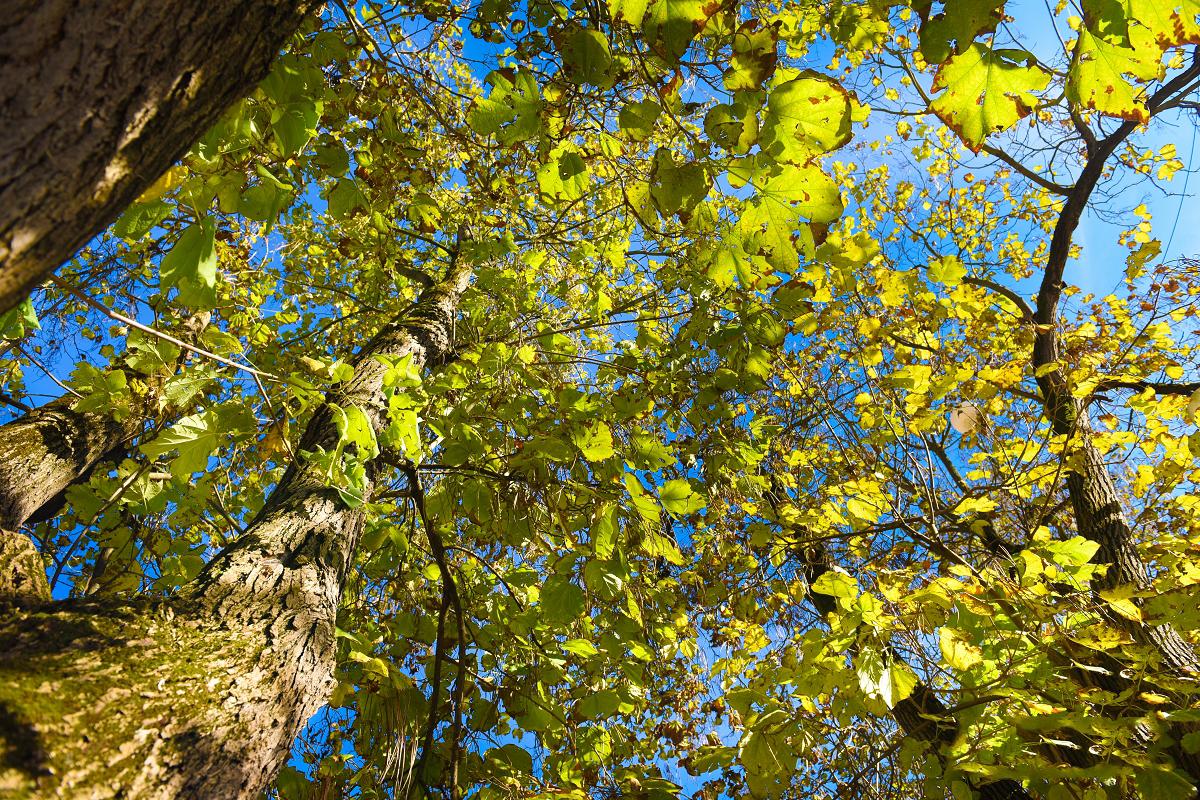 Ko pri 7 drevesih trčita dva svetova - Zgodbe o brezobzirnem podiranju dreves v mestnih jedrih so se vrstile, kar ena za drugo. Padala so zdrava drevesa z razlogom, da so stara in nevarna ter da bodo zamenjana za nova, mlajša drevesa. Ena takšnih zgodb prihaja tudi s Ptuja.