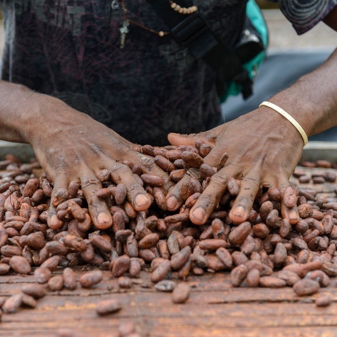 - When Cacao de Colombia first explored the region back in 2011, they found cacao everywhere; drying on any flat surface farmers could find, including the road. The sheer volume of cacao was overwhelming, and the opportunity for quality and systemic improvement was obvious. Cacao de Colombia has worked with three community cooperatives to introduce centralized processing and drying. Because of the introduction of centralised processing and Cacao de Colombia's expertise in high-quality flavour development, farmers today earn 70% more income from cacao today than they did when selling dried beans to the commodity market supply chain
