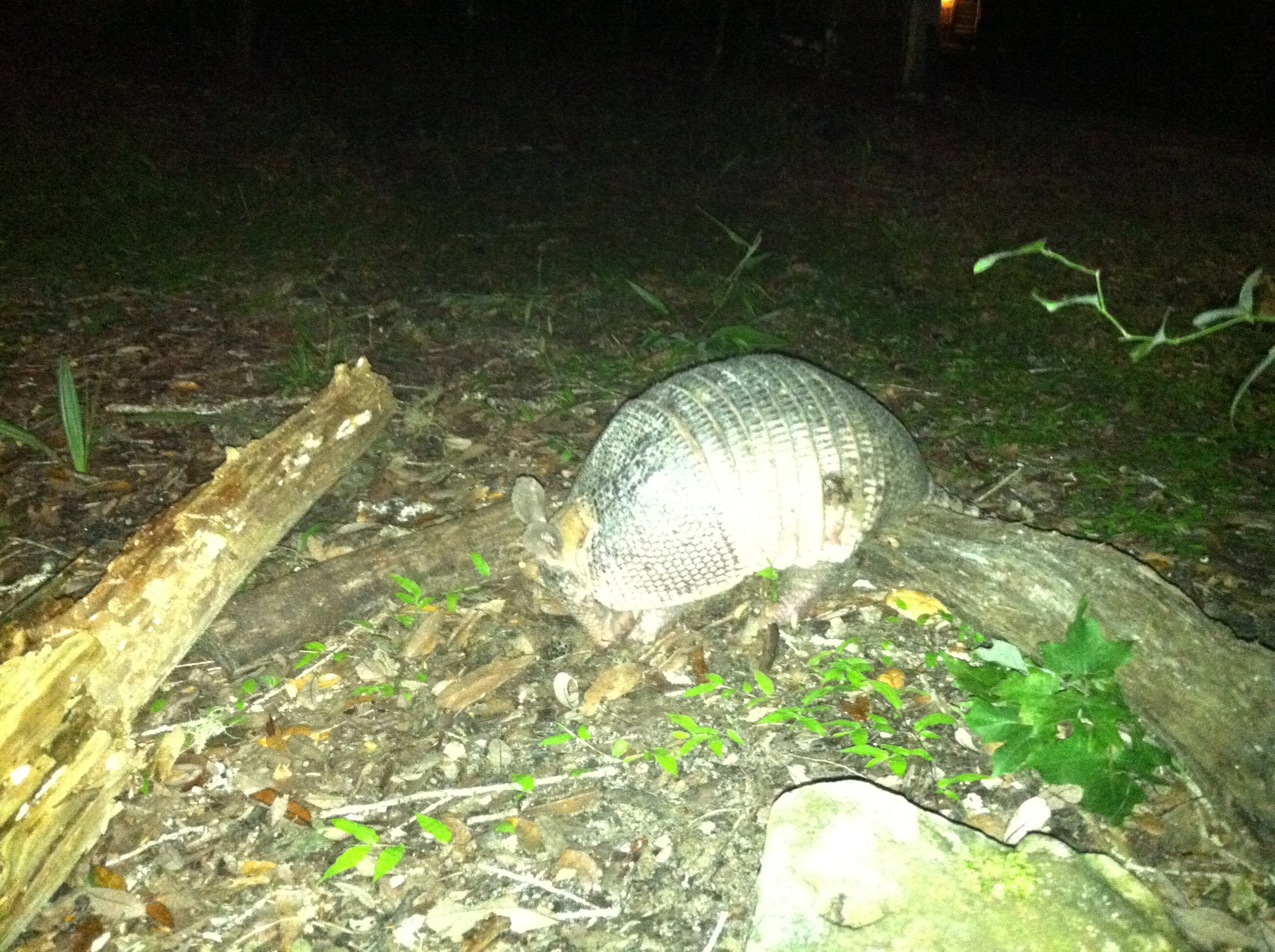 Armadillos are pretty much the most oblivious creatures in the forest, which makes them quite endearing. This big guy sauntered unaware within a few feet of me while I worked. He had just exited the barn by the time I snapped this pic.