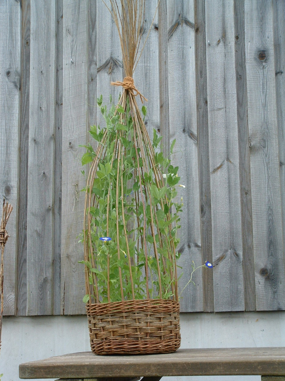 Willow Basket Planter With Morning Glory