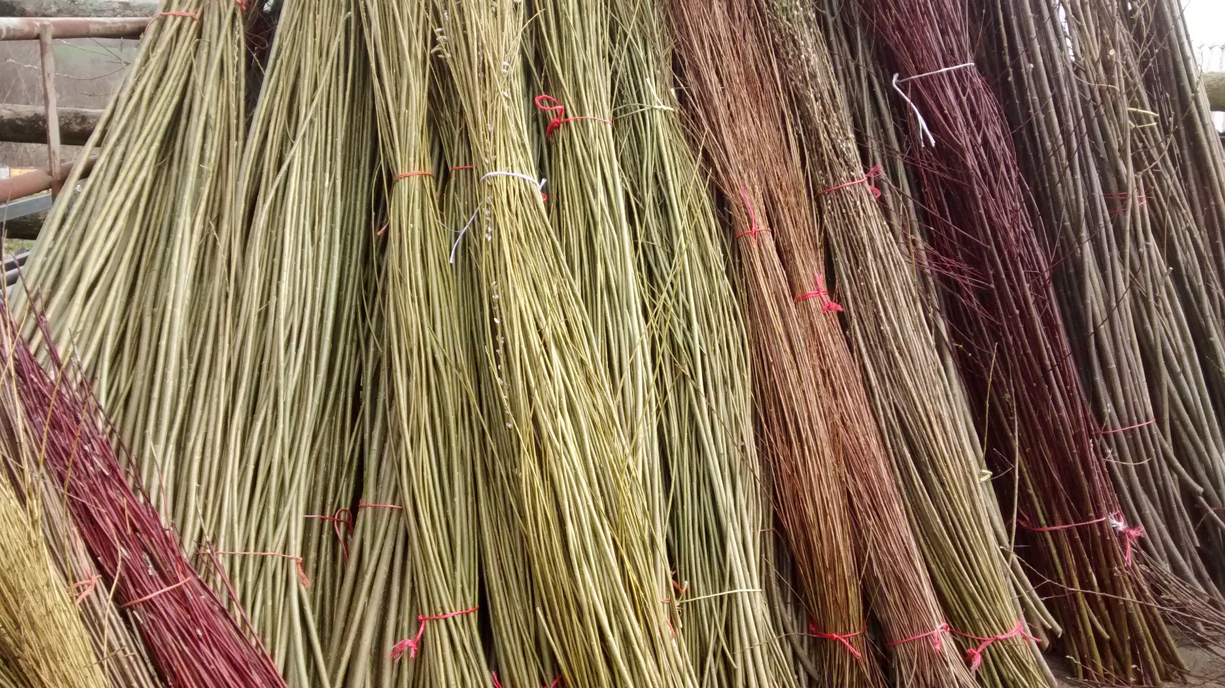 Harvested Willow