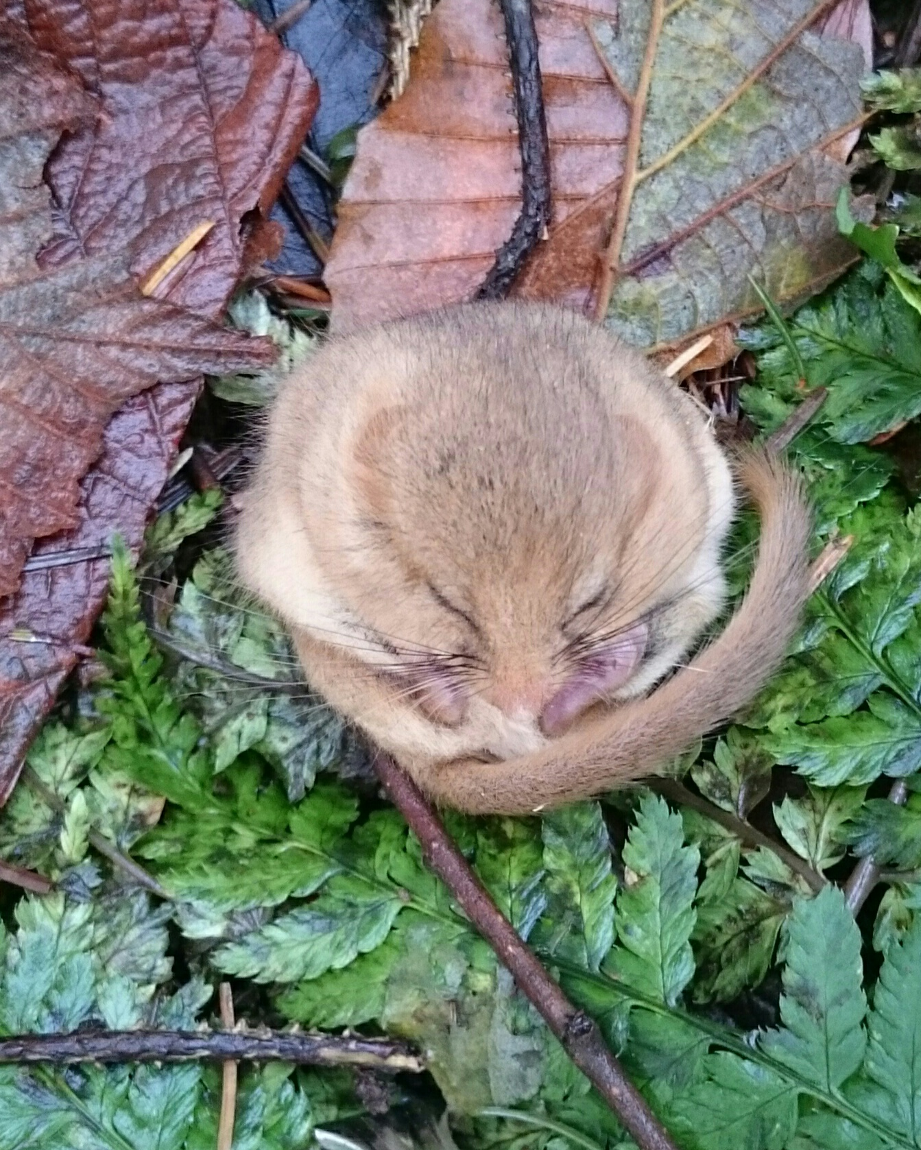 Sleepy Dormouse Photographed During A Box Check