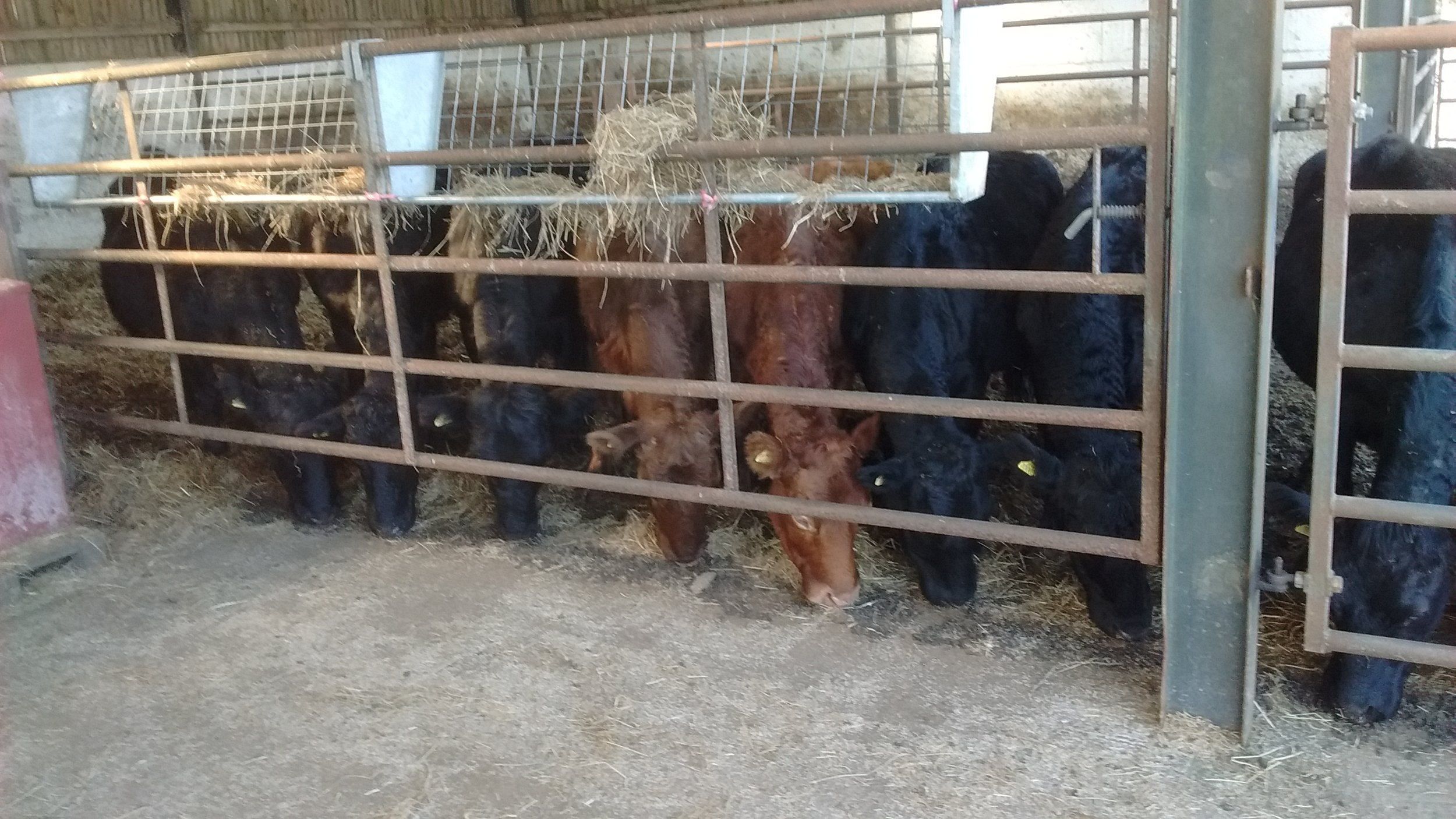 Feeding Cows in Winter