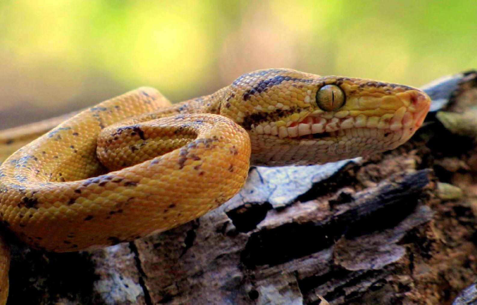 snake.Guyana