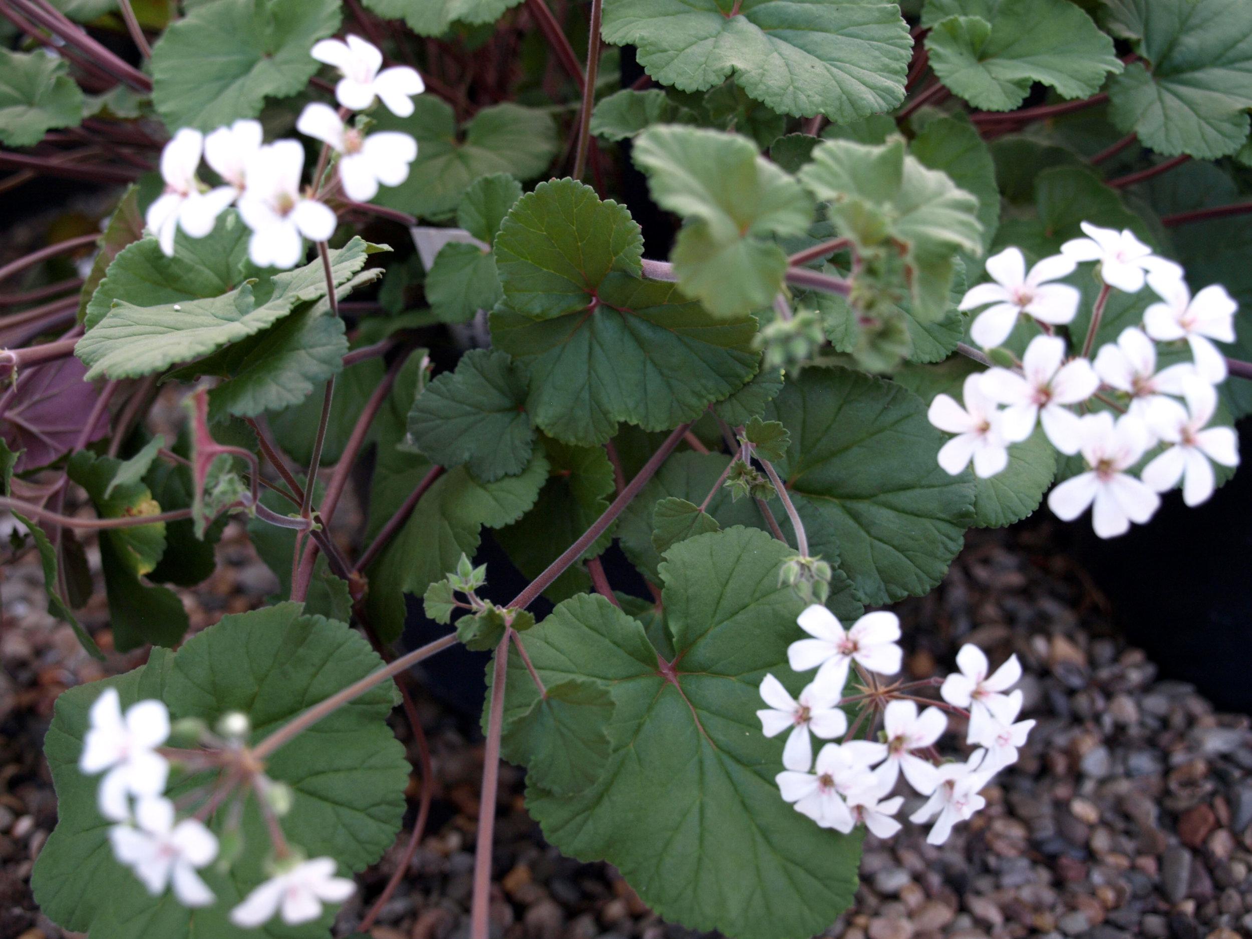 Pelargonium australe - (Art-Gruppen)Pris: 110:-