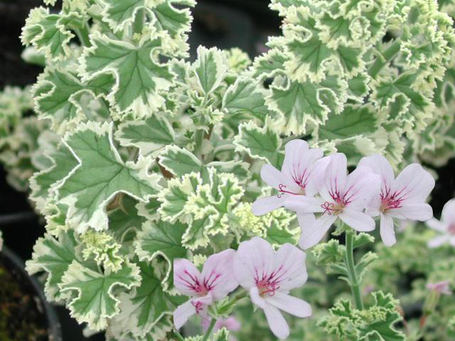 Pelargonium 'Crispum Variegatum' - (Doftpelargon-Gruppen)Citrus doft. Ljust rosa blom med tunna ceriserosa ränder. Bladen är varigerade med vit, tandad bladkant, djupt flikade och tydliga nerver. Buskigt växtsätt.Pris 55:-