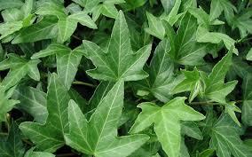 Hedera Helix 'Maple Leaf' - Bladen är djupt femlobade, mellanstora, mörkt gröna och glansiga. Formen påminner mycket om ett lönnlöv. Snabbväxande klättrare. Skugga-sol.