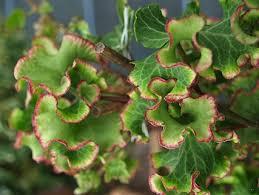 Hedera Helix 'Melanie' - Bladen är vågiga med krusad, röd bladkant. En intressant skönhet som påminner om den krusbladiga persiljan. Mycket långsamväxande marktäckare. Passar bra i större kruka. Skugga-sol.