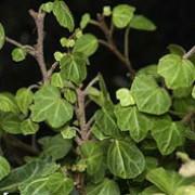 Hedera Helix 'Peter Pan' - Bladen är trelobade, rundade och små med tydliga nerver. Växtens vågiga bladyta skapar ett intressant uttryck. Mycket långsamväxande klättrare. Passar bra i kruka.Halvskugga.