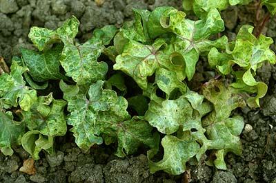 Hedera Helix 'Romanze' - Bladen är vågiga och något ojämna. Äppelgröna färgskiftningar och röda nerver. Marktäckande alt. hängande. Sol.