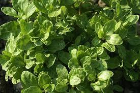 Hedera Helix 'Very Merry' - Bladen är mellanstora och äggformade med vågig bladyta och ljusa nerver. Uppåtsträvande växtsätt. Långsamväxande. Intressant i kruka. Halvskugga.