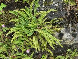 Asplenium trichomanes - Småbladen är ovala, klargröna och sitter parbladigt längs med det purpurfärgade skaftet. 5-15 cm hög. Kruka eller friland. Halvskugga-skugga.