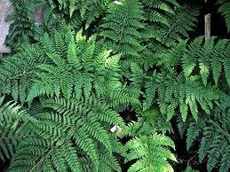 Dryopteris drilitata - Småbladen är flikade, ojämt parbladiga och sitter längs med grönbrunt skaft. 80-120 cm hög. Kruka eller friland. Halvskugga-skugga.