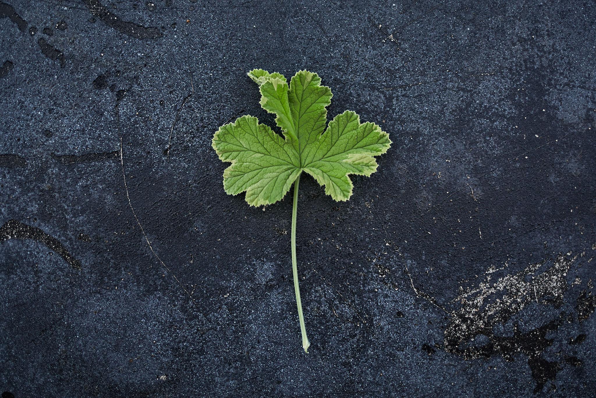 Pelargonium 'Golden Clorinda' - (Doftpelargon-Gruppen)Doft av ceder. Intensivt sericerosa blommor. Bladen skiftar i friskt grönt och guldgula nyanser, djupt flikade med mjukt tandad kant. Buskigt växtsätt.Pris: 55:-