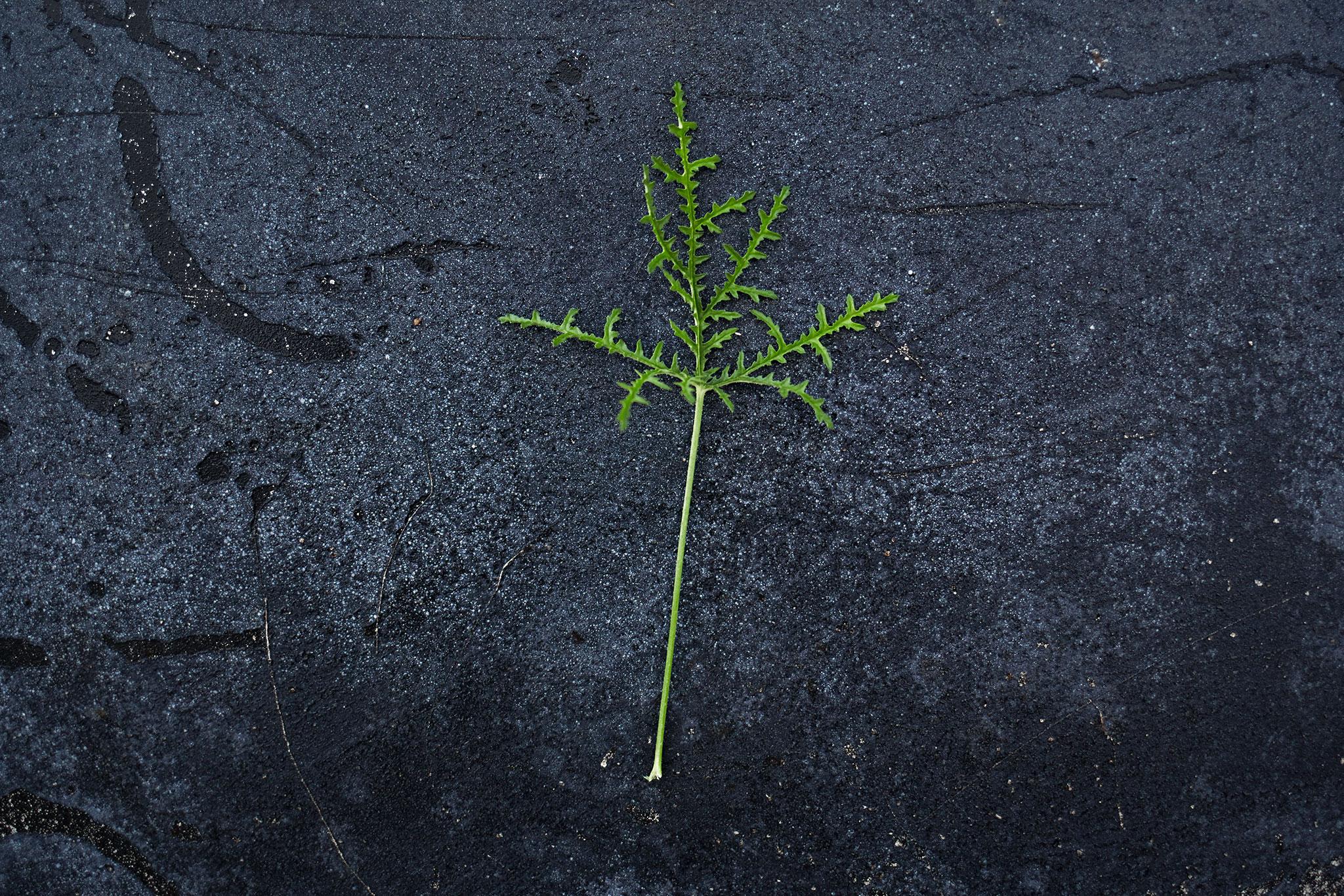 Pelargonium 'Fillicifolium' - (Doftpelargon-Gruppen)Doft av balsam. Vederkvickande förnimelse. Ljust rosa blom med ceriserosa ögon. Bladen är friskt gröna, ormbunkslika, djupt flikade med tandad kant. Buskigt växtsätt.