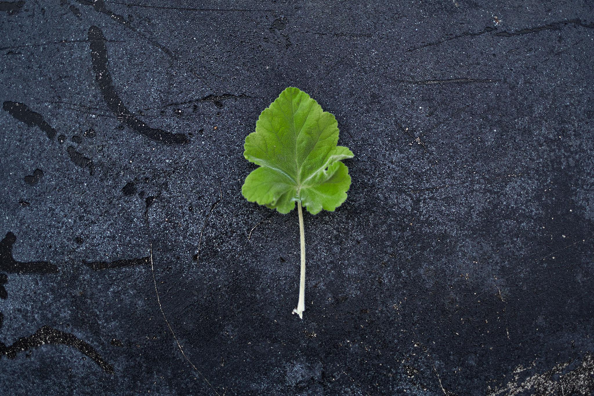 Pelargonium 'Islington Pepermint' - (Doftpelargon-Gruppen)Doft av pepparmint. Blommorna är tvåfärgade. De övre kronbladen mörkt röda och de nedre vita. Bladen är friskt gröna, trelobade med tydliga nerver. Lågväxande.Pris: 110:-