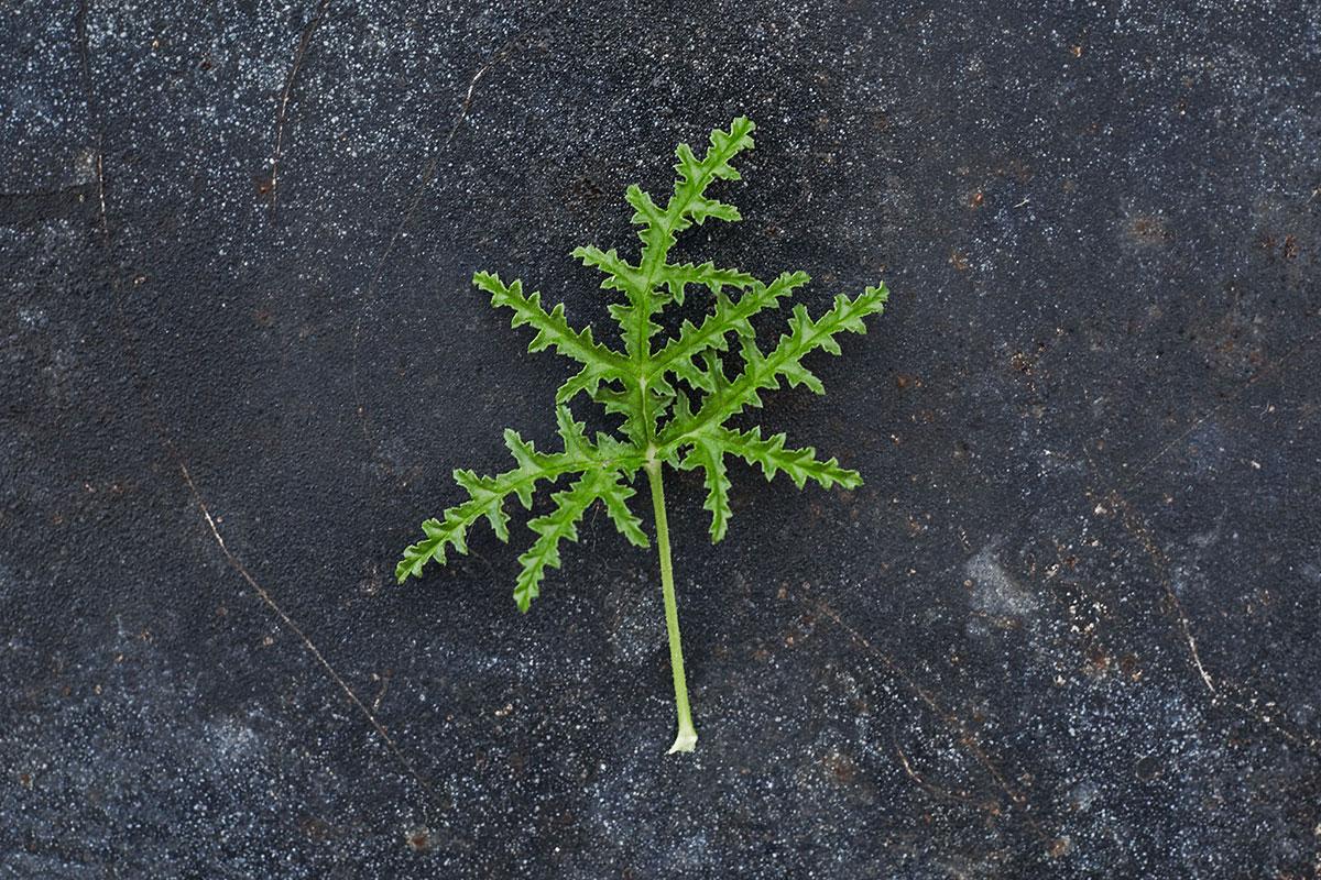'Denticulatum' - (Doftpelargon-Gruppen)Stark geraniumdoft. Små rosa blommor med mörka ögon. Bladen är friskt gröna, ormbunkslika, djupt flikade med tandad kant och något klibbiga. Kraftfull växt.Pris 110:-