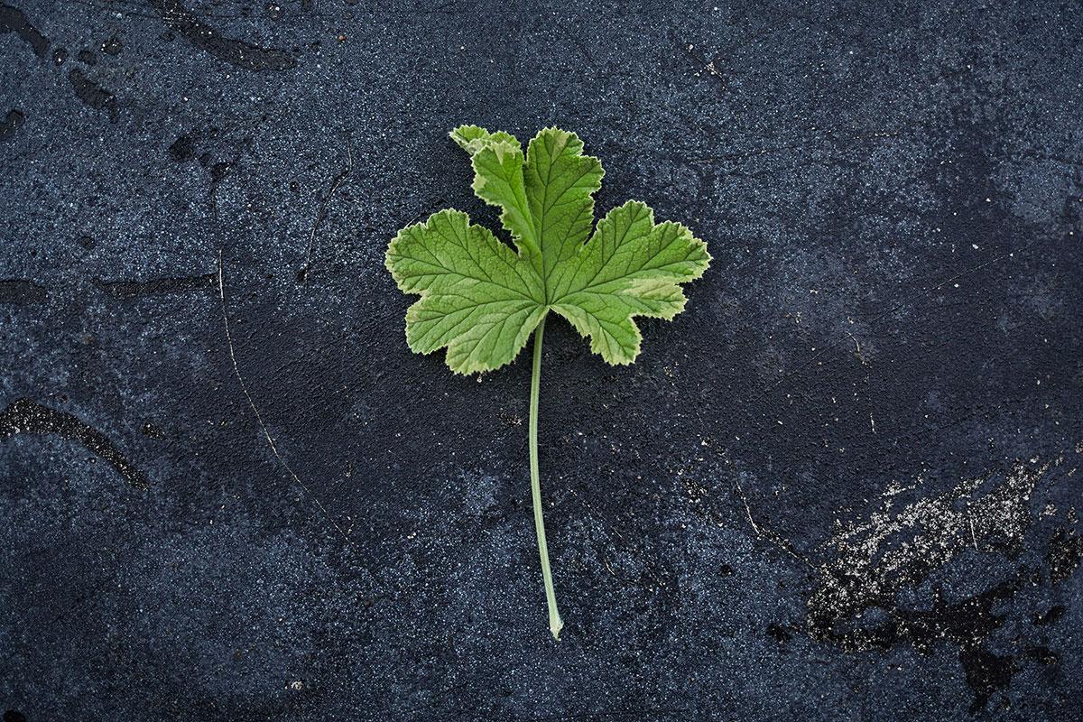 'Golden Clorinda' - (Doftpelargon-Gruppen)Doft av ceder. Intensivt sericerosa blommor. Bladen skiftar i friskt grönt och guldgula nyanser, djupt flikade med mjukt tandad kant. Buskigt växtsätt.Pris: 55:-