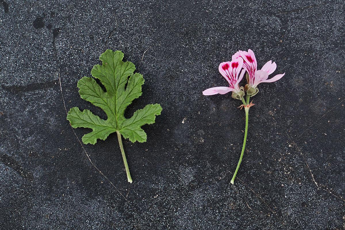 'Fair Ellen' - (Doftpelargon-Gruppen)Mandeldoft. Rosa blom med ceriserosa ögon. Bladen är friskt gröna, ekbladsformade med mörka tydliga nerver. Kompakt växtsätt.Pris: 55:-