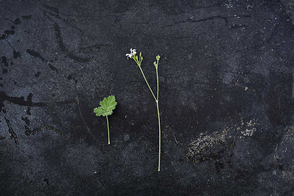'Ardwick Cinnamon' - Pelargonium 'Aldwick Cinnamon'(Doftpelargon-Gruppen)Mustig kaneldoft. Vita skyar på långa stänglar. Bladen är grågröna, djupt flikade med krusade kanter, små och mjuka. Kompakt växtsätt.Pris: 55:-