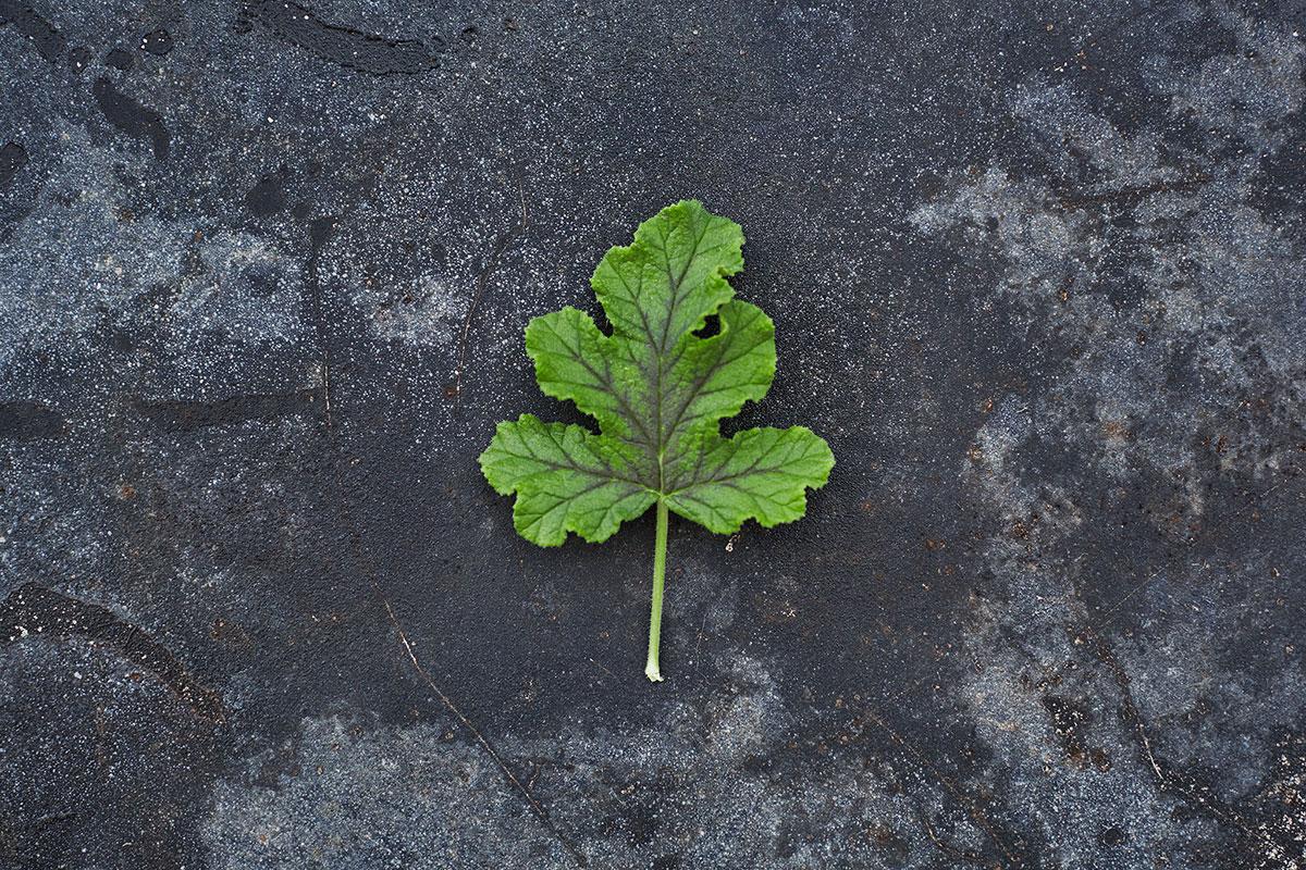 'Royal Oak' -