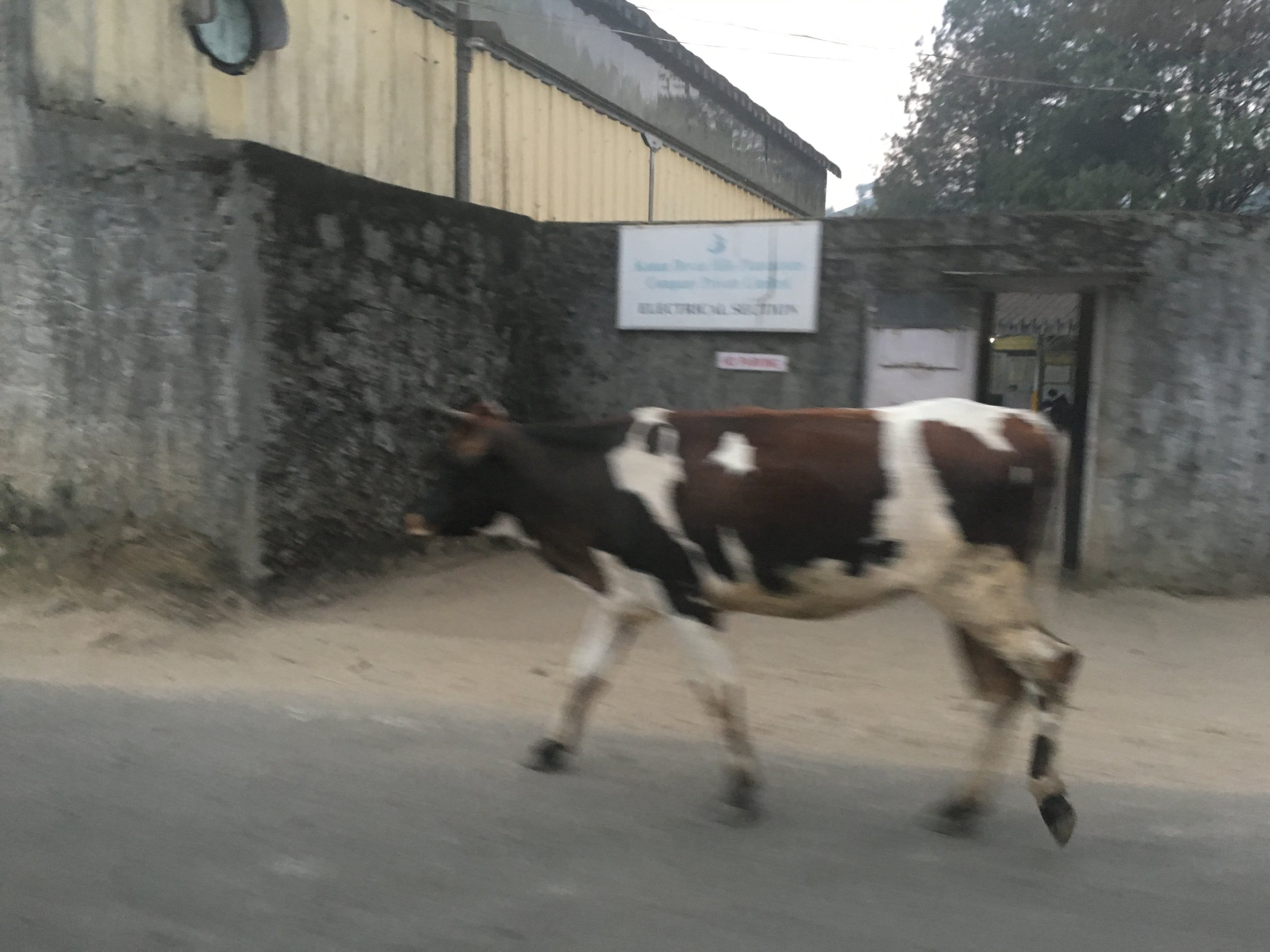 Cows walk freely through the streets of Munnar
