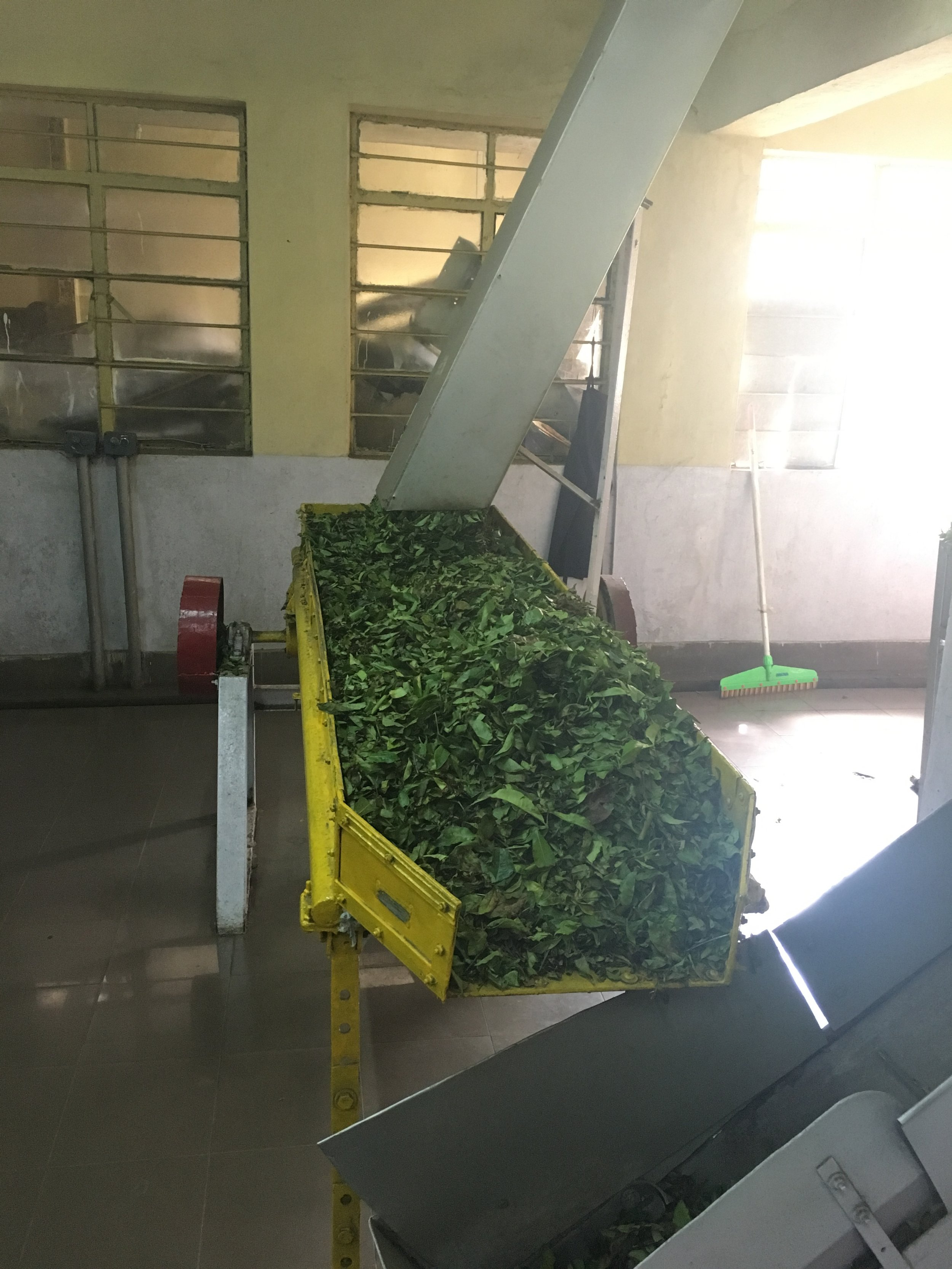 Tea leaves on their way to cutting, rolling, oxidizing, and drying.