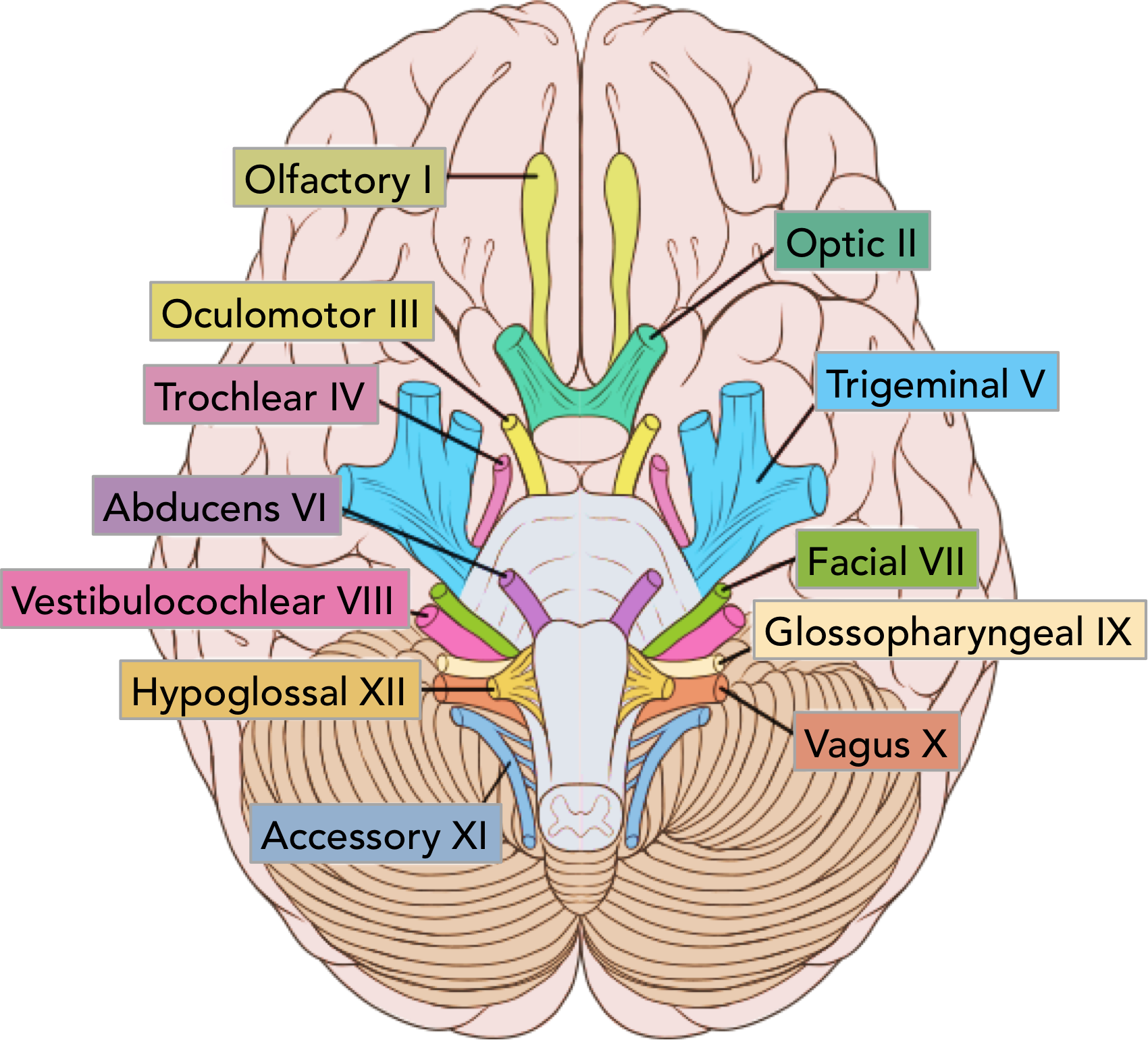 Click the image to see the 12 cranial nerves.
